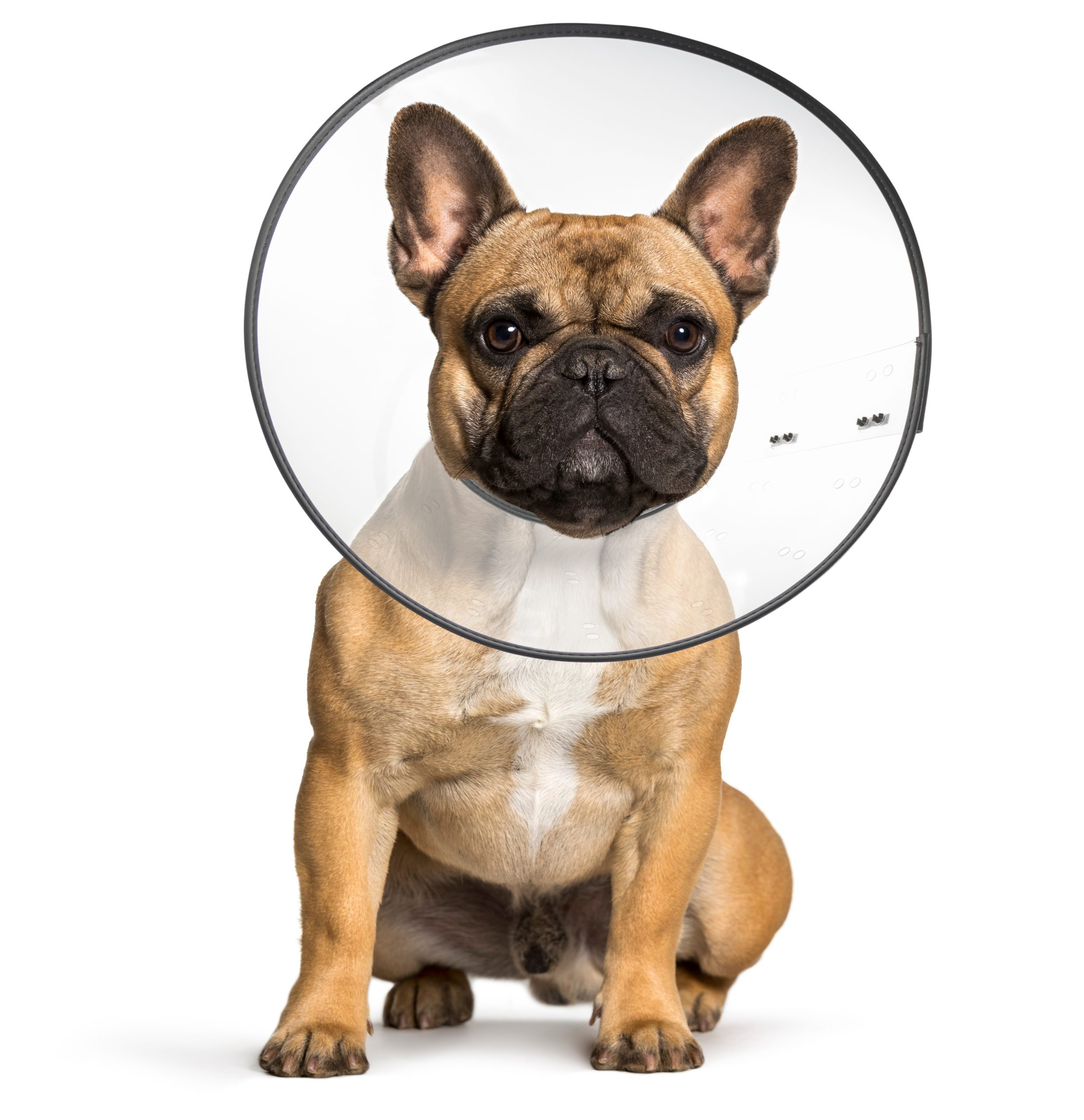 French Bulldog wearing plastic recovery cone