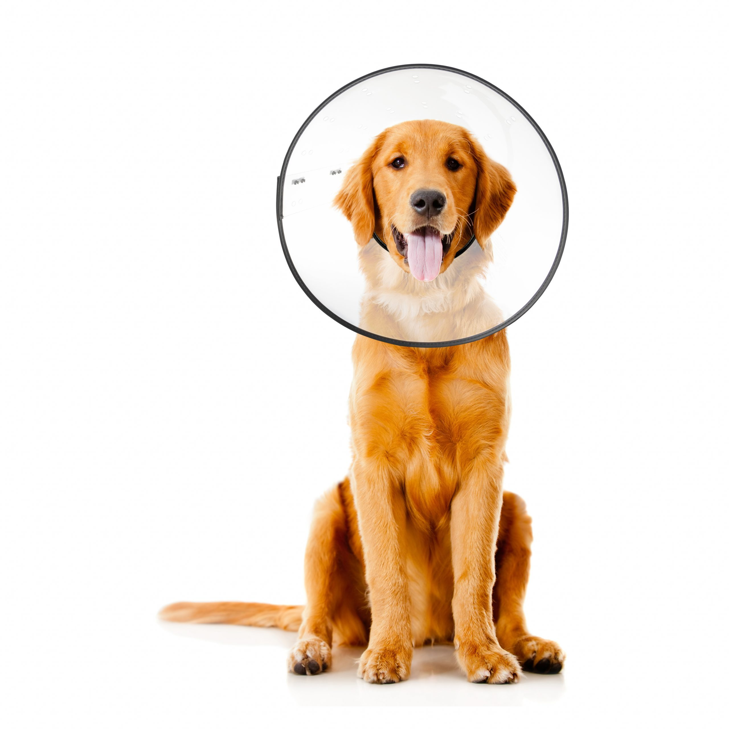 Golden Retreiver wearing plastic recovery cone