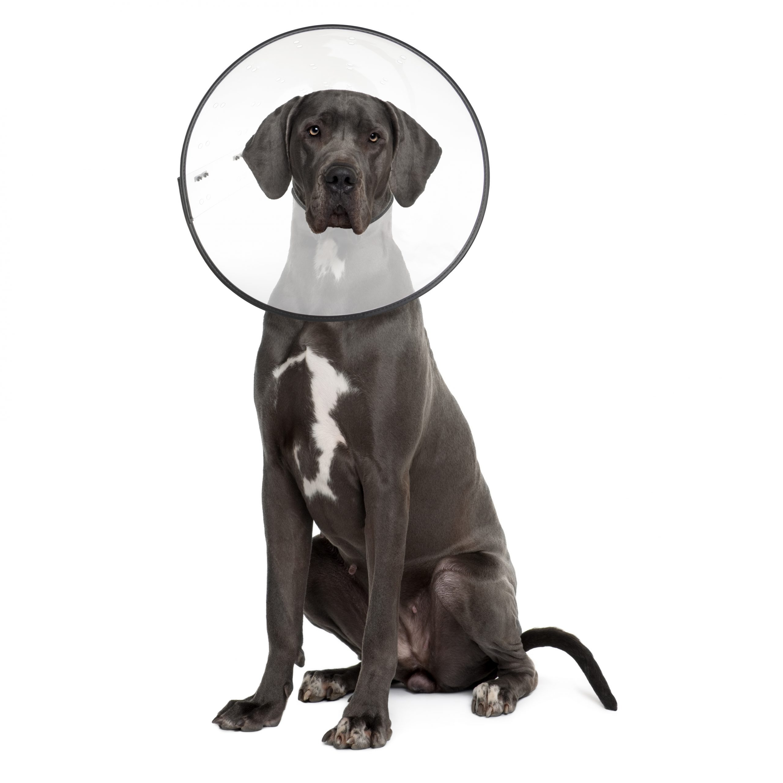 Great Dane wearing plastic recovery cone.
